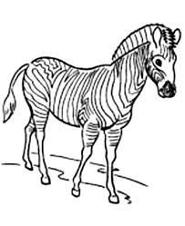 Small Picture Awesome Zebra Coloring Page Free Amp Printable Coloring Pages For