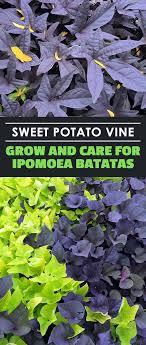 sweet potato houseplant. Perfect Sweet Learn All About The Sweet Potato Vineu2026 Ornamental Vine  That Is And Sweet Potato Houseplant D