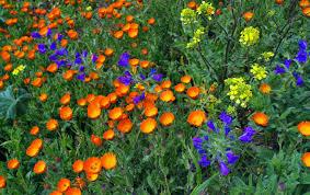 essays and diversions sicily a mosaic calendula officinalis pot marigold and viper s bugloss echium vulgare