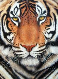 color tiger drawing.  Tiger Tiger Completed With Prismacolors Animal Paintings Drawings  Pencil Painting On Color Drawing P