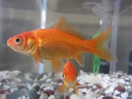 Fantail Goldfish Growth Chart Common Goldfish Wikipedia