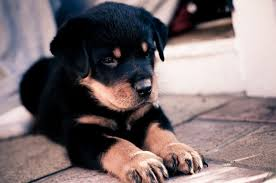 Download 2560x1700 Rottweiler, Cute ...