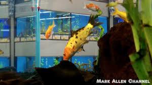 petsmart animals fish.  Petsmart Pet Fish At Petco U0026 Petsmart In Animals YouTube