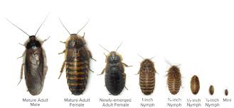 How To Get Rid Of Baby Roaches Cockroach Bed Bugs Pest Control