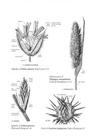 Name Those Grasses Identifying Grasses Sedges And Rushes Nhbs