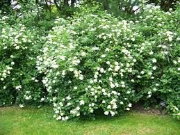 Image result for Arrowwood Viburnum