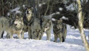 gray wolf pack playing. Delighful Playing Tom BrakefieldStockbyteGetty Images With Gray Wolf Pack Playing