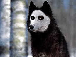 white german shepherd wolf mix puppy.  Puppy German Shepherd Wolf Mix  Skull Breed Border Collie German Shepherd Grey Wolf  Mix Gender With White Puppy C