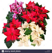 Weihnachtsstern Blumen Rot Hintergrund Stockfoto Bild