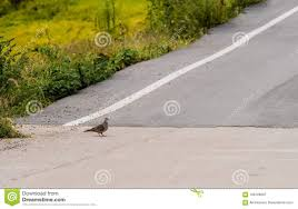 Lone Turtle Dove Standing On Road Stock Image Image Of Korea Grey