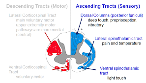 Spinal Cord Anatomy Spine Orthobullets