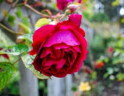 Перевод слова rose, американское и британское произношение, транскрипция, словосочетания, однокоренные слова, примеры использования. Rare Rose Rediscovered On Alcatraz 30 Years Ago Teaches Resilience Today Kqed