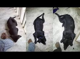 Labrador Retriever Growth Rate Chart Black Lab Puppy Growth From 6 Weeks To 1 Year Youtube
