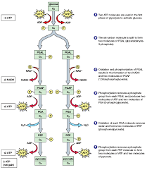 Reactants And Products Of 10 Steps Of Glycolysis Pathway Embden