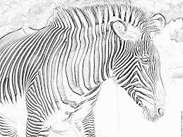 Coloriage Zebre A Imprimer Gratuit