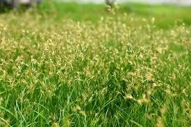How To Get Rid Of Kill Nutsedge Nut Grass Nutsedge