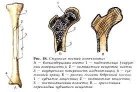 Значение опорно двигательной системы ее состав Строение костей  Строение костей