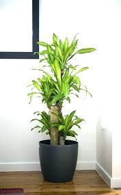 large indoor plants for indoor big plants big house plants big indoor plants common house