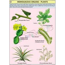 Homologous Organs Plants Chart 70x100cm
