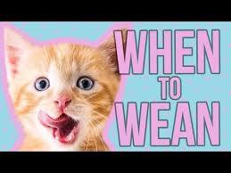 Weaning Kitten Lady