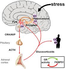 The Hypothalamic Pituitary Adrenal Axis Integrates And Mediates The