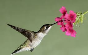 hummingbirds and flowers wallpaper. Hummingbirds And Flowers Wallpaper On