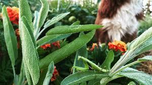 Kale Companion Planting Chart Sites 24749 Video 73x1enrjs8eieg1srobw_3_kinds_of_companion_plants M4v