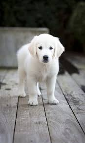 white golden retriever puppies for sale. Contemporary Puppies English Cream Golden Retriever Puppies And White For Sale