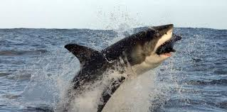 shark attack on humans. Simple Humans Why Do Sharks Attack Us Humans For Shark Attack On Humans S