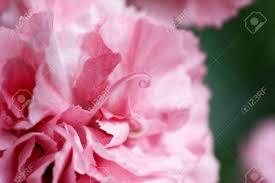 Макро реферат бледно розовые гвоздики лепестков с керлинг тычинки  Макро реферат бледно розовые гвоздики лепестков с керлинг тычинки выступающие Фото со стока 28878156