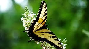 yellow monarch erfly wallpaper 1920x1080 yellow monarch erfly wallpaper 1920x1080
