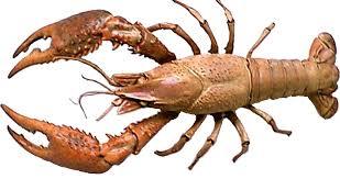Crayfish Oehha