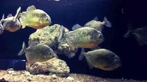 Red Belly Piranha Care Size Lifespan Tankmates Feeding