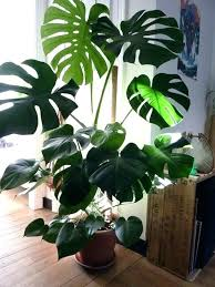 types of indoor plants indoor plant trees indoor palm images which are the typical types of palm trees tall house plant trees common indoor plants in the