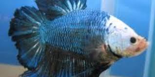 Pelet Ikan Cupang Aduan