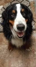bernese mountain dog dog for adoption in pittsburg ca usa