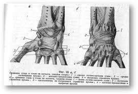 Кости на ръката Реферат от Биология Страница  Лъчево киткена става art radiocarpea В лъчево киткената става фиг 95 се свързват костите на предмишницата с горния ред киткени костици