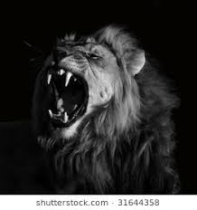 lion roaring black and white. Brilliant Roaring Lion On Roaring Black And White Shutterstock