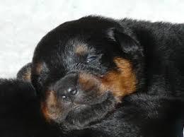 bedimadaiz litter of rottweiler puppies