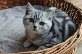 british shorthaired silver tabby kitten