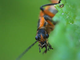 Soldier Beetle - Aubrey Moat - Photography, Animals, Birds, & Fish, Bugs &  Insects, Beetles, Other Beetles - ArtPal