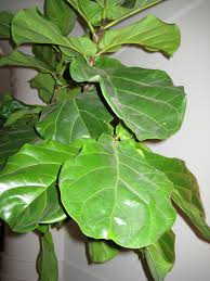 fiddle leaf fig the plant s waxy dark green leaves are