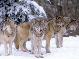 gray wolf pack playing. Simple Playing Living In Family Groups Called U201cpacksu201d Makes The Wolves A Wellorganized  Species With Leader And Hierarchy That Defines Role Contribution Of  In Gray Wolf Pack Playing