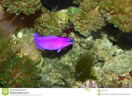 Pesci viola immagini stock libere da diritti immagine: 13552109
