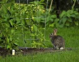 5 vegetablegardener com item 4816 keeping rabbits out of the kitchen garden