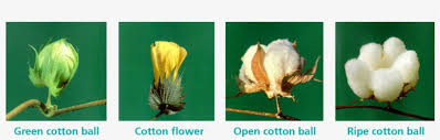 Cotton Growth Stage Chart Growth Stages Of Cotton With Swicofil Expert In Yarn Yarn