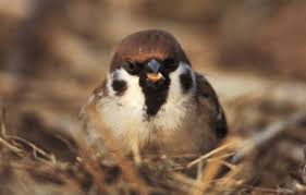 Tree House Sparrows Bird Family Overview The Rspb