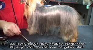 silky dog white. used products: body: white silky smooth shampoo, head: texture shampoo and conditioner click image below to enlarge or watch the video, here dog