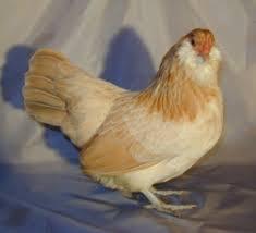Ameraucana Chicken Color Chart Breed Profile Ameraucana Chicken Backyard Poultry