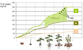 Potato Growth Chart Nutrients For Growing Potatoes Haifa Group